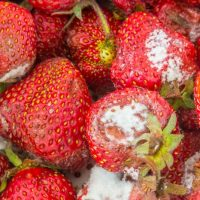 Если съесть заплесневелые ягоды